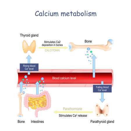 Calcium metabolism, and impact on human organs. vitamin d deficiency. medical vector illustration. labeled diagram. Infographic