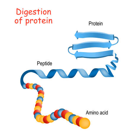 Structure of Protein from amino acid to peptide, and protein. Close-up of protein molecule. Vector illustration for medical, biological, science, and education use Stock Illustratie