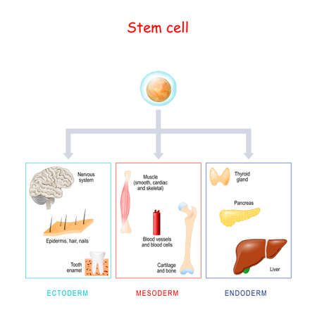 stem cells on a white background. These cells can become any tissue in the body. Explanation of stem cell application. Genetic research. Vector Illustration for medical, science, and educational use
