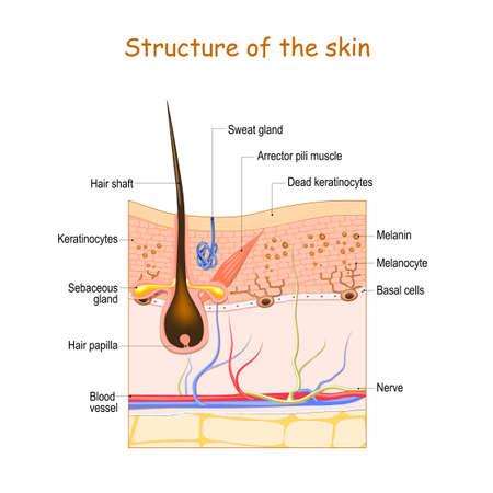 Hautschichten mit Haarfollikel, Schweißdrüse und Talgdrüse. Zellstruktur der menschlichen Haut. Vektor-Illustration