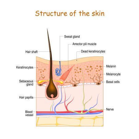 Skin layers with hair follicle, sweat gland and sebaceous gland. Cell structure of the Human skin. vector illustration