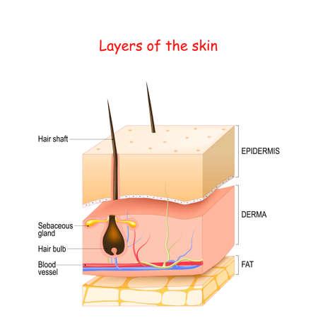 Capas de piel. Epidermis, dermis, hipodermis (grasa). Piel humana sana con folículo piloso, vasos sanguíneos y glándulas sebáceas. Ilustración de vector sobre diagrama médico. Ilustración de vector