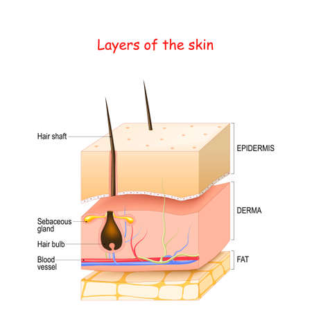 Skin Layers. Epidermis, dermis, hypodermis (fat). Healthy human's skin with hair follicle, blood vessels, and sebaceous glands. Vector illustration about medical diagram.