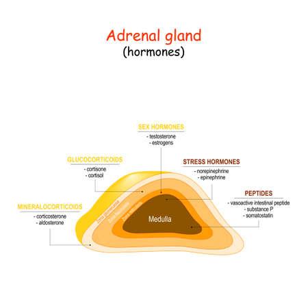 Cross-section of the adrenal gland. Hormones of adrenal gland (epinephrine, testosterone, estrogens, somatostatin, cortisol). Vector illustration
