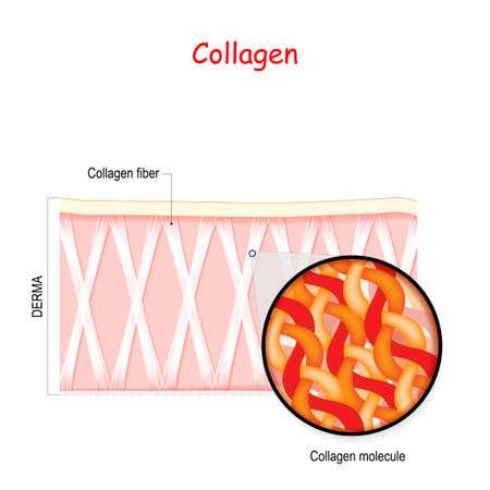 Collagen in the human skin. fiber, and collagen molecule in derma.