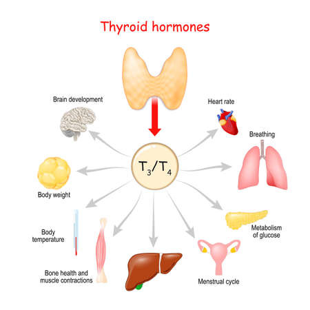 Thyroid Hormones. Regulation of vital Functions of body. Vector illustation