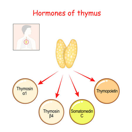 Hormones produced by the Thymus gland. Thymopoietin, Insulin-like growth factor (IGF-1), or somatomedin C, thymosin alpha and Thymosin beta. Vector illustration for medical, science and education use.