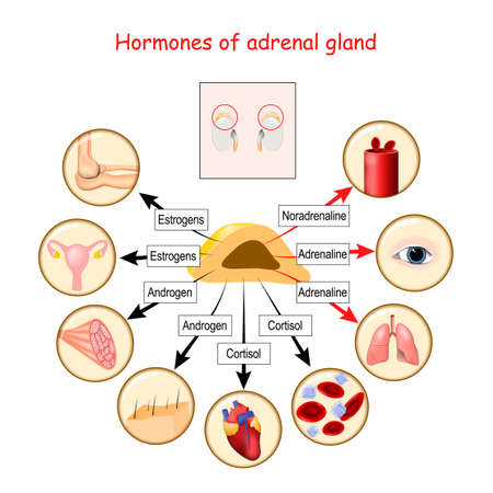 Hormones of adrenal gland and human organs that respond to hormones. cortisol, androgen, adrenaline, noradrenaline, and estrogens. Vector illustration for medical, education and science use