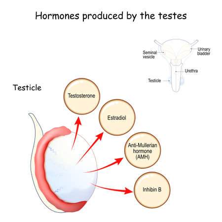 Hormones produced by the testes (testicle). Human endocrine system. Estradiol, Testosterone, Anti-Mullerian hormone (AMH) and Inhibin. Vector illustration for medical, education and science use Ilustração