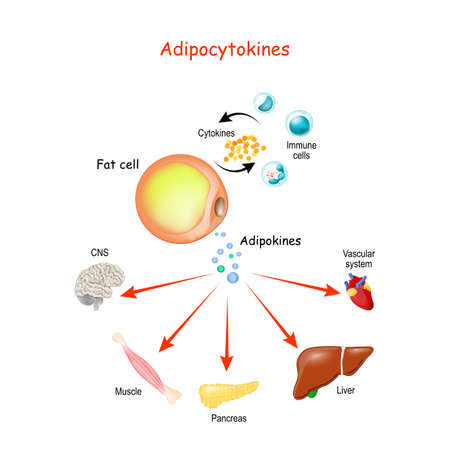 Adipocytokines, immune cells and metabolism. Vector illustration for medical, education and science use. Ilustração