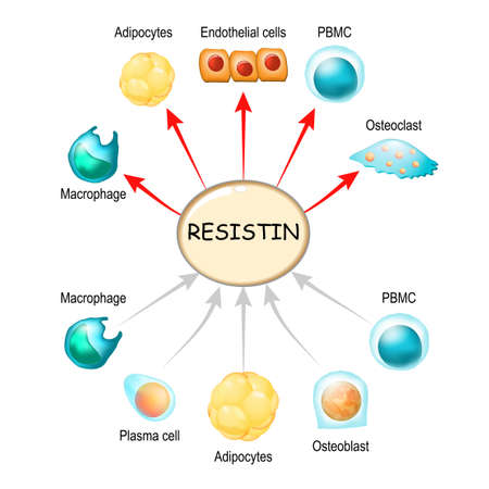 Resistin is a hormone from adipose tissue, regulator of inflammation, autoimmune processes, obesity and insulin resistance. Atherosclerosis and its related complications. Target cells for resistin: macrophage, PBMC, osteoclast, osteoblast, plasma and endothelial cells, adipocyte (fat cells). Ilustração