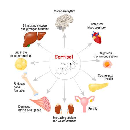 Le rôle du cortisol dans le corps. C'est une hormone libérée en réponse au stress et à une faible concentration de glucose dans le sang. Système endocrinien humain. diagramme vectoriel à usage médical, éducatif et scientifique