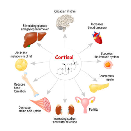 The role of cortisol in the body. It is hormone Released in response to stress and low blood-glucose concentration. Human endocrine system. vector diagram for medical, educational, science use