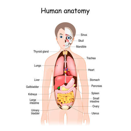 human body anatomy. Scientific medical illustration. internal organs of the female. flat infographic poster. location and definitions. vector.
