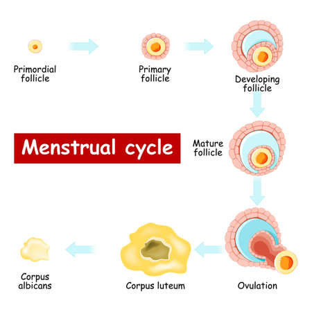 Menstrual cycle. Changes in ovary: from Developing follicle to Ovulation and Corpus luteum. Chart of Biology. vector Diagram. maturation of a follicle. Isolated on a white background. Vektoros illusztráció