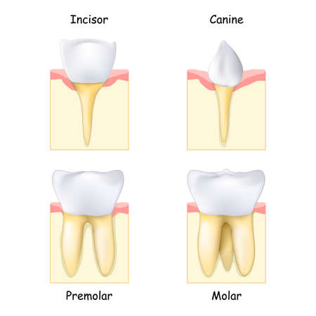 Different Types of Teeth: from Canine and Incisor to Molar and Premolar. Set of realistic human teeth. Tooth, gum and bone. Vector illustration