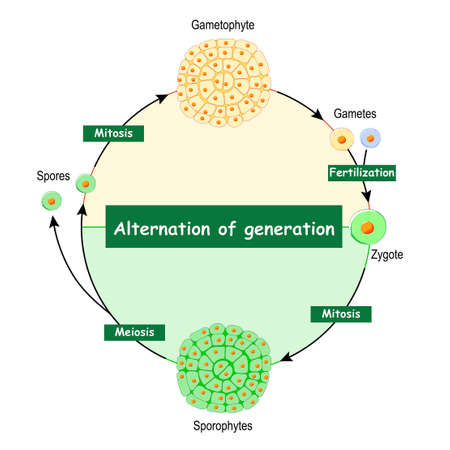 Difference Between Gametophytes And Sporophytes. Alternation of Generation. type of life cycle that occurs in plants and algae that have sexual and asexual stages. Sporophyte, which produces spores is followed by a gametophyte, which produces gametes. Diploid generation is followed by haploid generation