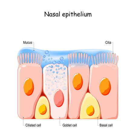 Nasal mucosa cells. Nasal secretions. Ciliated, basal and goblet cells. Olfactory epithelium. Cells act as a low resistance filter. Vector illustration Ilustração