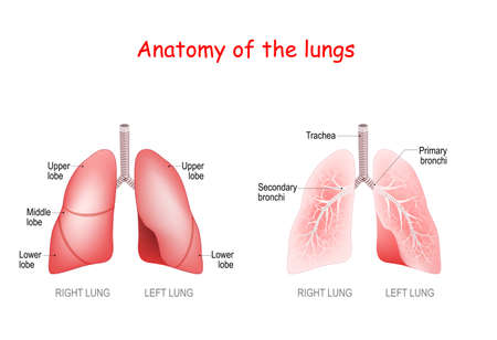 anatomy of the human lungs. lobes, trachea and bronchi. Vector illustration
