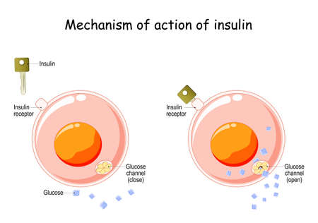 Mechanism of action of insulin in the cell. Insulin regulates the metabolism and is the key that unlocks the glucose channel. How does insulin work. vector diagram