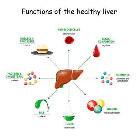 Functions of the healthy liver. From detoxification, and deactivation of poisons and toxins, to synthesis of bile, proteins, Amino acids and cholesterol. metabolism. Ilustração