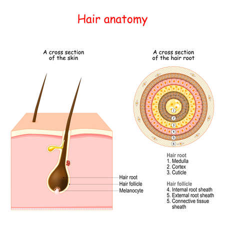 Hair follicle structure and anatomy. Cross section of the human skin and close-up of hair root.