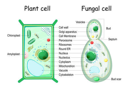 Plant cell and fungal (yeast) cell structure. cross section and anatomy of cell. Biology Chart. Vector illustration on a white background. detailed diagram for use in education