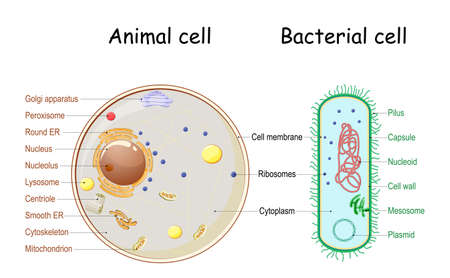 Comparison of the structure of bacterial and animal cells. cross section and anatomy of cell. Biology Chart. Vector illustration on a white background. detailed diagram for use in education