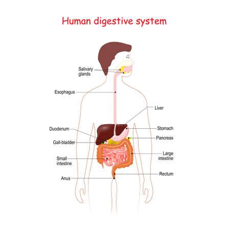 Human digestive system. Medical Education Diagram. Chart of Biology. Vector illustration
