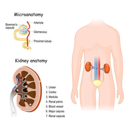 Human Urinary system. Kidney anatomy and microanatomy of a nephron (Glomerulus and Bowman's capsule).