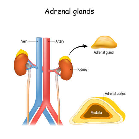 Adrenal glands anatomy. Kidney and ureter, aorta and Inferior vena cava. Structure and cross section of suprarenal glands. endocrine system. Vecteurs