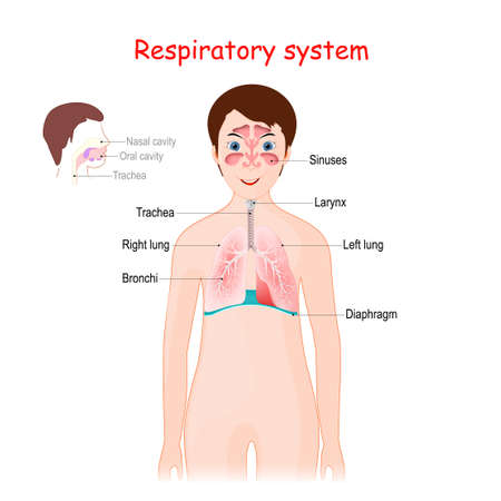 Human respiratory system for kids. Cute smiling girl with lungs, bronchi, sinuses, diaphragm, and trachea. poster for educational use. Vector illustration