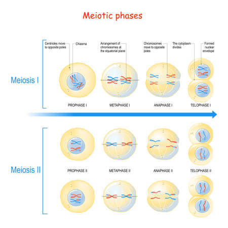 Meiosis is a cell division in sexually reproducing organisms for produce the gametes (sperm, eggs). meiotic phases: Prophase, Metaphase, Anaphase, and Telophase. Diagram of cell division Process.