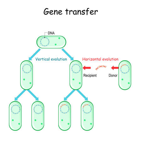 Gene transfer for example bacteria. Donor and Recipient cell-to-cell contact. Horizontal and Vertical evolution. Microbial Genetics and antibiotic resistance.