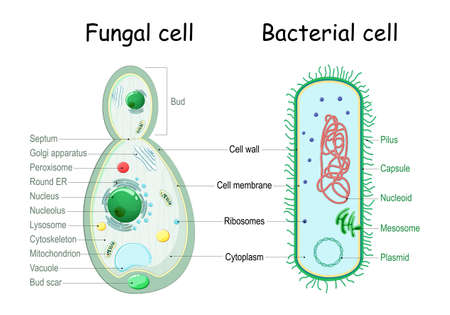 bacteria and fungal (yeast). comparison of cell structure. Similarities and differences. cross section and anatomy of cell. Biology Chart. Vector illustration on a white background. detailed diagram for use in education