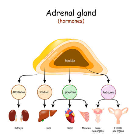 Hormones of Adrenal glands and internal organs-targets for Androgens, Epinephrine, Cortisol, and Aldosterone. Structure of adrenal gland: Zona fasciculata, Zona reticularis, Zona glomerulosa, and Medulla. Иллюстрация
