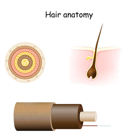 Hair anatomy. Cross section, and Cell Structure of the Hair shaft. Part of skin (epidermis and dermis) with a hair root in follicle.