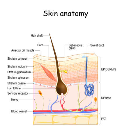 Skin anatomy. Cross section of the human skin. layers of the human skin (epidermis, dermis, fat), Hair follicle, Sensory receptor, Sweat and Sebaceous glands.