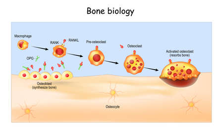 Bone Biology. Role of RANK, RANKL, and OPG. bone remodeling. Bone is broken down by osteoclasts, and rebuilt by osteoblasts. Receptor activator of RANKL is the mediator of bone resorption. Osteoprotegerin (OPG). Paracrine and endocrine actions of bone. functions of secretory proteins from osteoblasts, osteocytes, and osteoclasts Иллюстрация