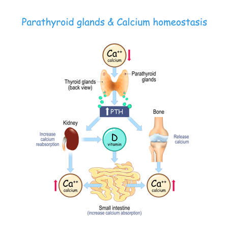 vitamin D, and Calcium homeostasis. Parathormone (PTH) secreted by the parathyroid glands that located on the back of the thyroid gland. vector illustration for medical, educational, and science use