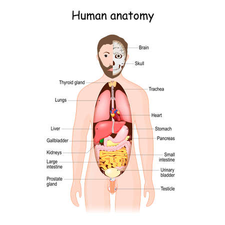 Human anatomy. internal organs. front view. Vector illustration. Human body with abdominal organs