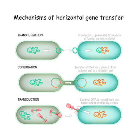 Mechanisms of horizontal gene transfer. conjugation (Transfer of DNA via a plasmid from a donor cell to a recipient), transduction (Bacterial DNA is moved from one bacterium to another by a virus), transformation (Introduction, uptake and expression of foreign genetic material). Иллюстрация