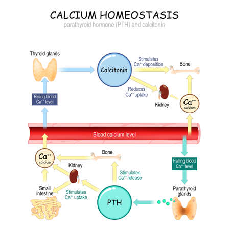 Calcium metabolism. vector illustration about how level of the calcium in plasma is regulated by the hormones parathyroid hormone (PTH) and calcitonin. For education and science