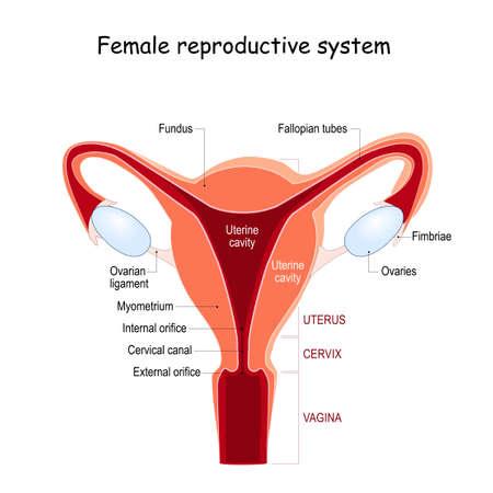 female reproductive system. Uterus anatomy. Different regions of Uterus.