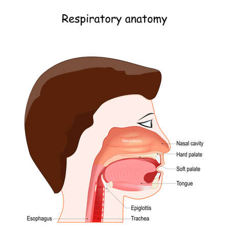 Upper respiratory system, with nasopharynx, oropharynx and laryngopharynx labeled, Epiglottis, Pharynx, and Larynx. Location, and Structure. Regions of Nose. Иллюстрация