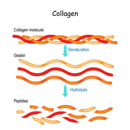 Collagen Hydrolysis and Denaturation. from Collagen molecule to Gelatin and peptides.