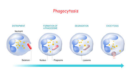 Phagocytosis. Neutrophil that uses its plasma membrane to engulf a bacterium. From endocytosis to exocytosis. educational scheme. Digestion process in phagocyte. immune system mechanism. vector illustration.