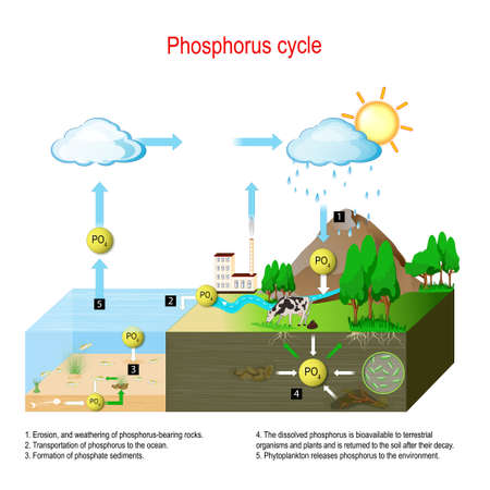 Phosphorus cycle. biogeochemical cycle. education chart. vector illustration. diagram with explanation. Erosion, and weathering of phosphorus-bearing rocks and transportation of phosphorus to the ocean. Formation of phosphate sediments. The dissolved phosphorus becomes bioavailable to terrestrial organisms and plants and is returned to the soil after their decay.
