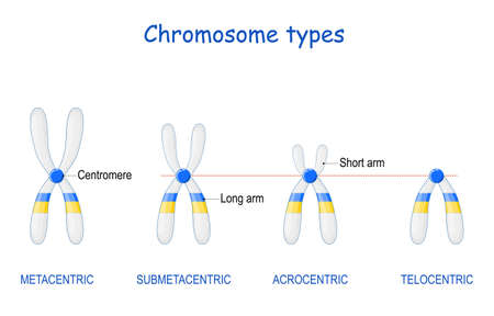 Type of chromosome. Classification of chromosomes. position of centromere: Metacentric, Submetacentric, Acrocentric, Telocentric. centromere joins the two sister chromatids, or each half of the chromosome. Vector illustration