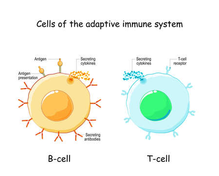 Cells of Adaptive immune system (immune response). B lymphocyte and T-cell. Types, and function of lymphocytes. Infographics. Vector illustration on white background. Vector Illustration